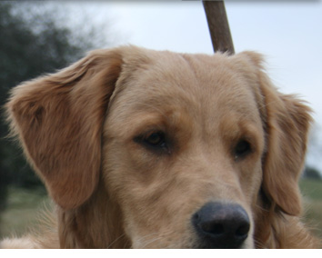 Image of the Lord Forester's new Golden Retriever, Duffers, named after the infamous drive at Willey Park